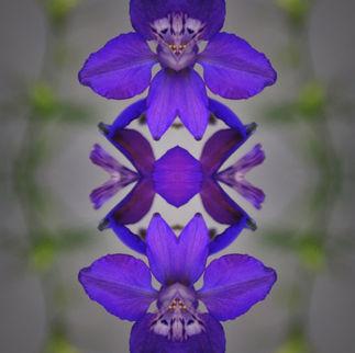Delphinis geminis