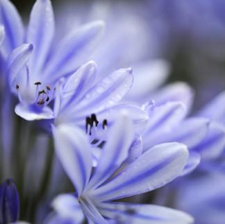 Bleu agapanthe