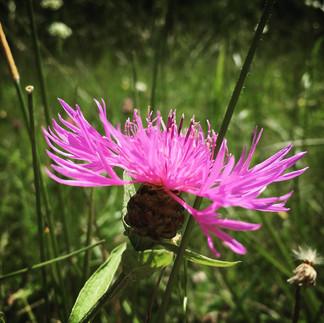 Centorea nigra