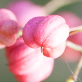Rose comme Euonymus europaeus
