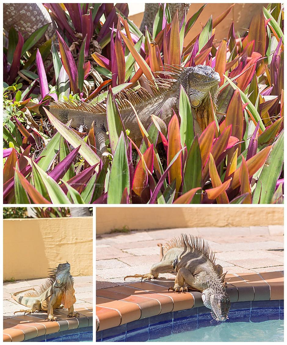 iguana at the pool, pet photographer chattanooga tn