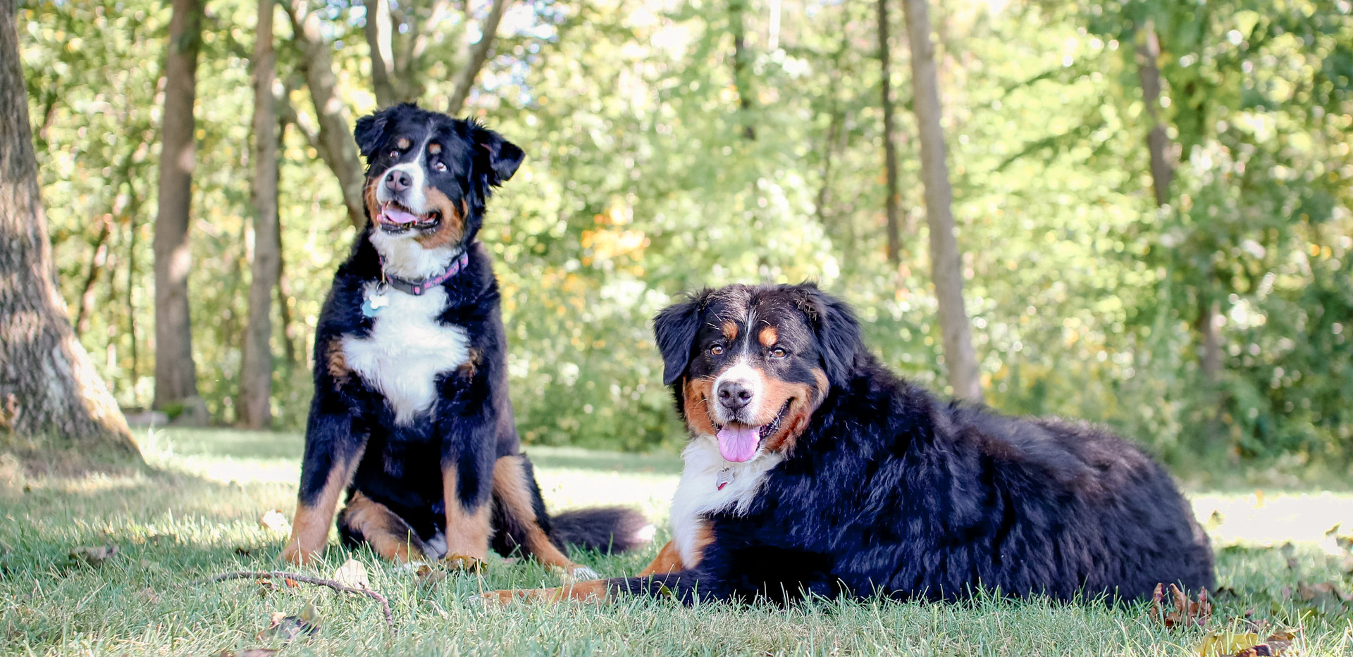 two large st bernard dogs, pet photographer Chattanooga