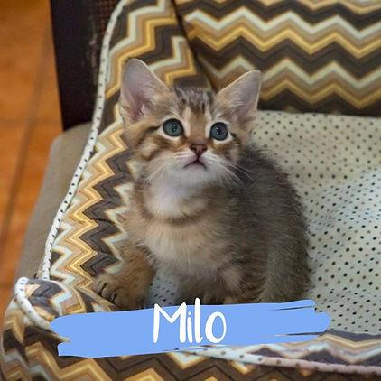 Milo_gato-para-adocao_PatinhasCarentes_0