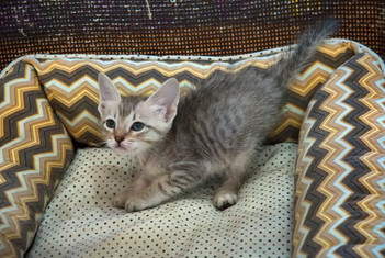 gato-bebe-cinza-macho_01-2jpg