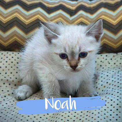Noah_gato-para-adocao_PatinhasCarentes_0