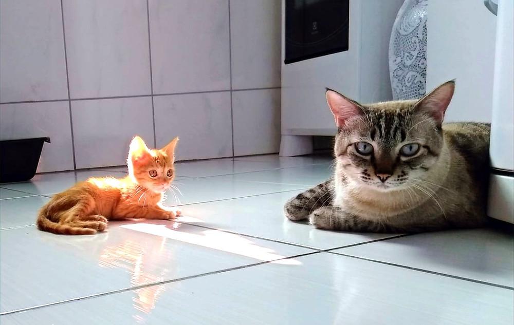 Como Adaptar um Gato com Outro Gato