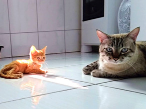 Como Adaptar um Gato Recém adotado com O Gato Residente
