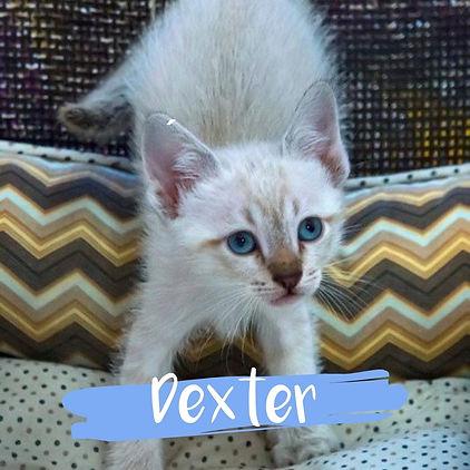 Dexter_gato-para-adocao_PatinhasCarentes