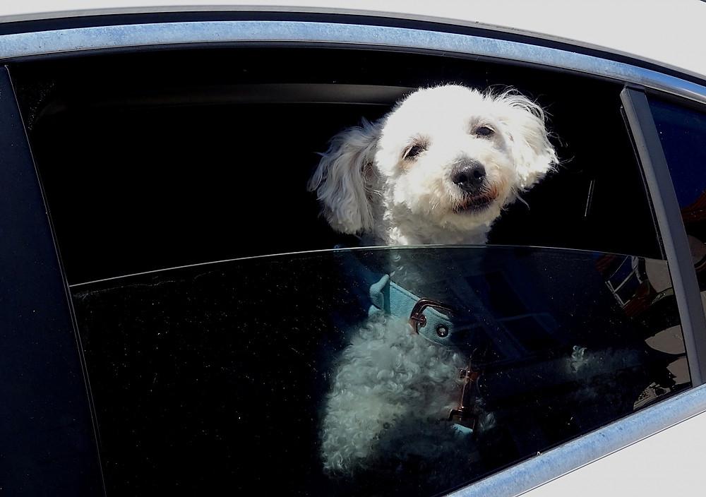 Nunca Deixe o seu Pet Dentro do Carro Sozinho!