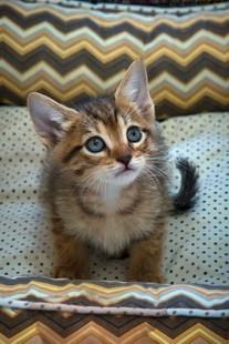 gato-bebe-marrom-tigre-macho_03-1jpg