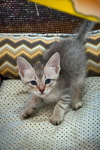 gato-bebe-cinza-macho_01-1jpg