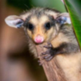 Gambá-de-orelha-preta (Didelphis aurita) - Big-eared opossum