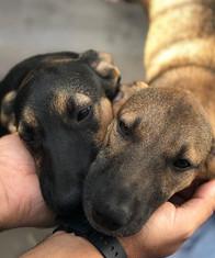 Cachorros para Adoção
