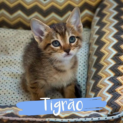 Tigrao_gato-para-adocao_PatinhasCarentes