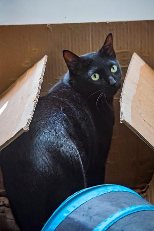 black_gato-para-adocao-patinhascarentes_