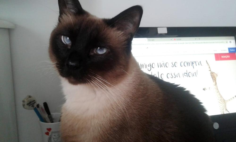 Luna a gatinha propaganda do Patinhas Carentes