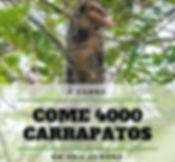 Um único gambá pode eliminar cerca de 4000 carrapatos por semana.