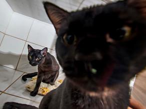 Porque é Melhor Adotar Gatos Sempre em Dupla