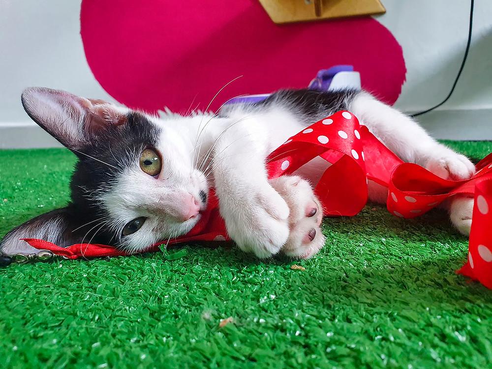 Gatinho filhote brinca com corda vermelha