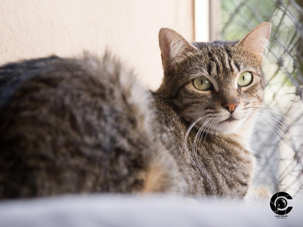 Ariel - gato para adoção