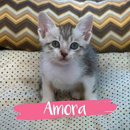 Amora_gato-para-adocao_PatinhasCarentes_