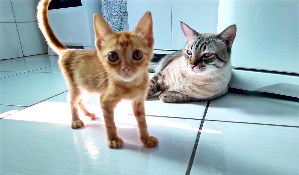 adaptação de um novo gato com um gato residente