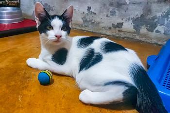 bentinho_gato-para-adocao_patinhascarent