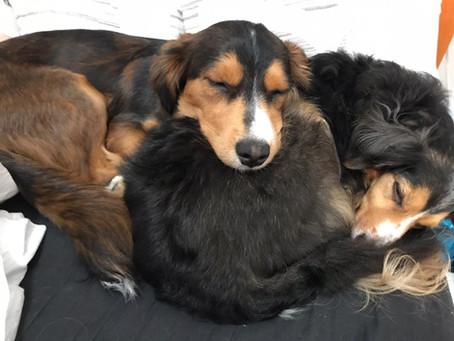 Excesso de Fofura! Cachorros Dormindo em Poses Engraçadas