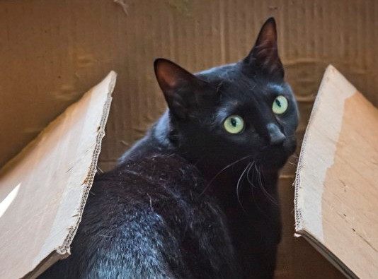 Black - gato para adoção