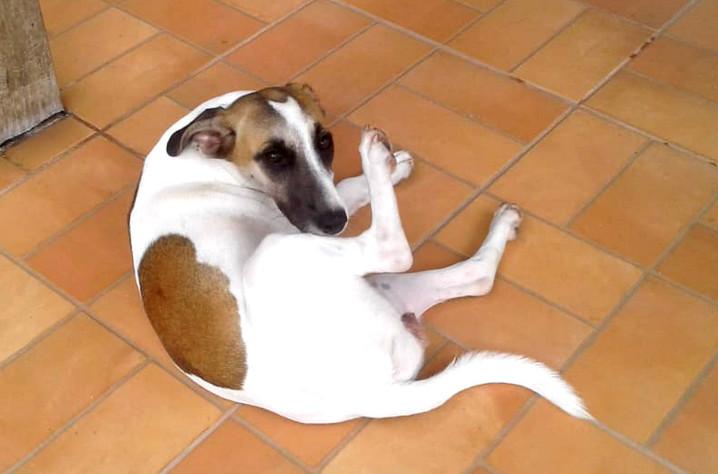 kika_cachorro-para-adocao_patinhascarent