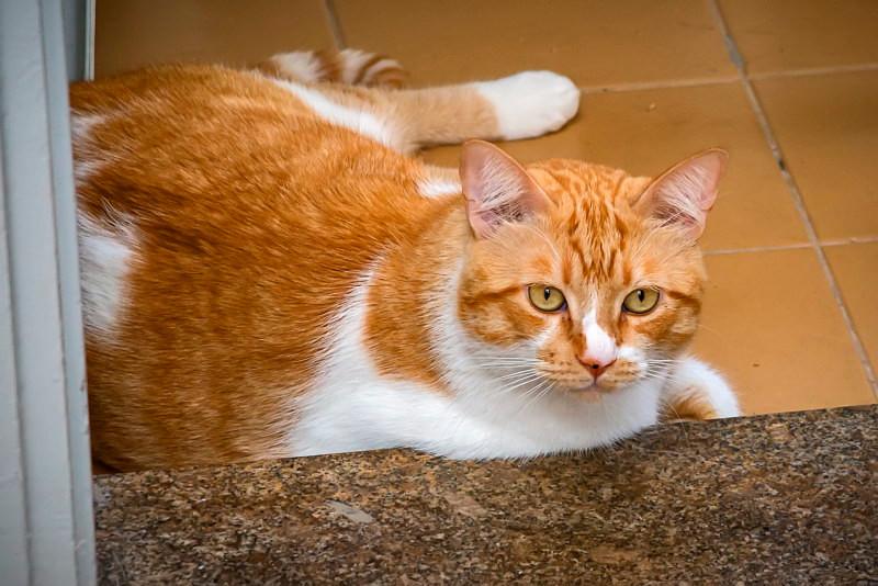 Loiro - gato para adoção