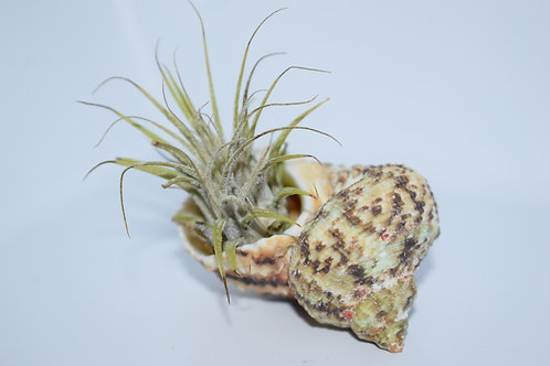 EXOTIC SHELL & AIR PLANT SMALL DISPLAY 4
