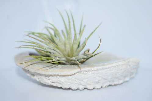 EXOTIC SHELL (ABALONE) & AIR PLANT DISPLAY 5