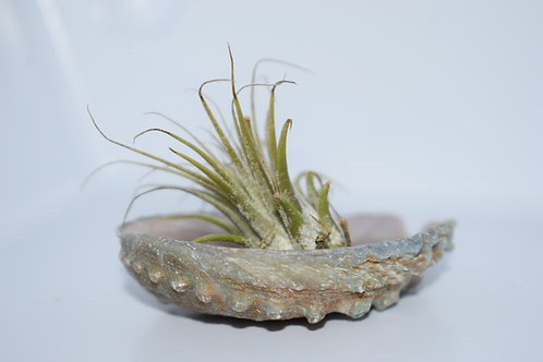 EXOTIC SHELL (ABALONE) & AIR PLANT SMALL DISPLAY 9