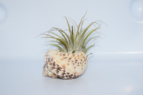 EXOTIC SHELL & AIR PLANT SMALL DISPLAY 3