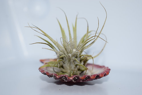 EXOTIC SHELL & AIR PLANT SMALL DISPLAY 12