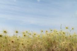 wild grass mangir island