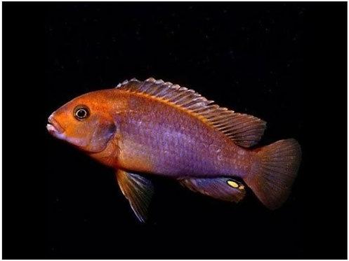Rusty Cichlids -Iodotropheus Sprengera | Fishy Biz