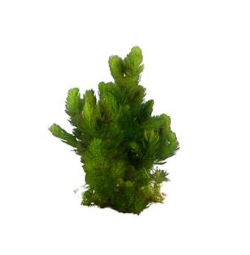 Buy Hornwort Foxtail - Submersed (Ceratophyllum demersum)   Fishy Biz   Aquatic Plants   Adelaide   South Australia   Fish