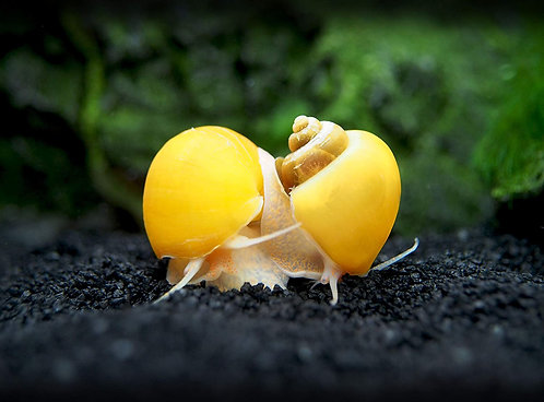 Buy Golden Inca Snails 0-2cm | Fishy Biz | Adelaide | Tropical Fish | South Australia | Aquariums Near Me