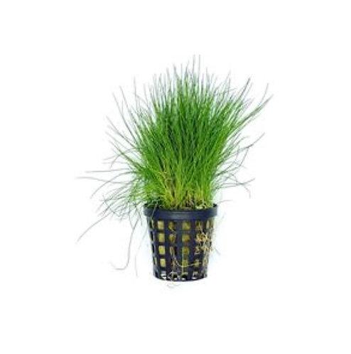 Hairgrass - Dwarf Pot - Submersed (Eleocharis sp.)