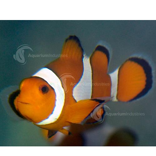 Buy Clownfish – Orange & White Amphiprion Ocellaris | Fishy Biz | Marine Fish | South Australia | Aquariums Near Me