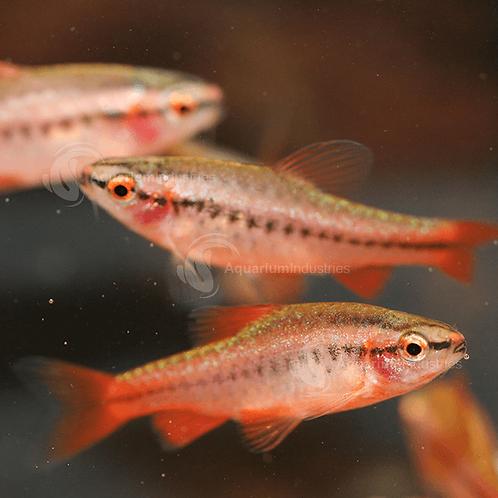 Buy Cherry Barb (Capoeta Titteya) Online   Fishy Biz   Adelaide   South Australia   Tropical Fish   Aquariums Adelaide