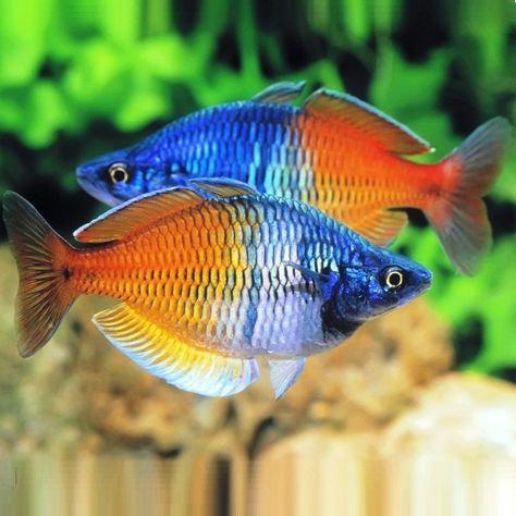Buy Melanotaenia Boesemani Rainbow 3.5cm (Melanotaenia boesemani) | Fishy Biz
