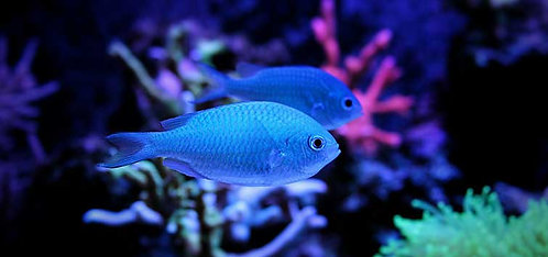Buy Blue Chromis Cichlid | Buy Cichlid Online | Predator Fish South Australia | Buy Fish Near Me