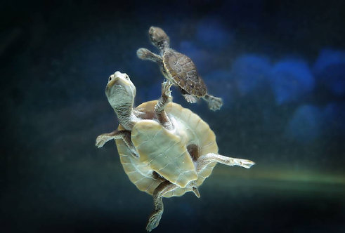 Buy Baby Short Neck Turtle | Fishy Biz