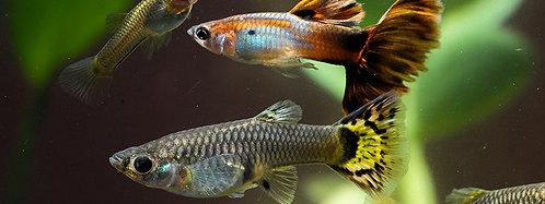 Female and Male Guppy   Fishy Biz