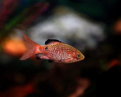 Rosy Barb 2cm | Fishy Biz