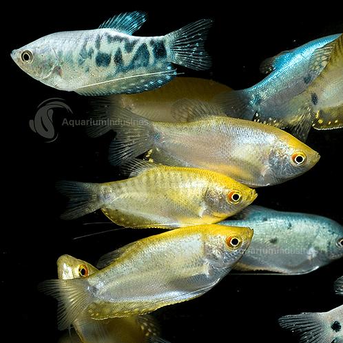 Buy Blue, Gold, Opaline Gourami Trichogaster - Trichopterus Fishy Biz South Australia | Free Delivery | Freshwater Tropical