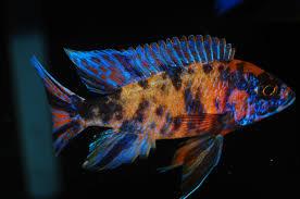 Buy OB Peacock Cichlid Online | Fishy Biz | Cichlid Adelaide | Buy Predator Fish South Australia | Tropical Fish SA